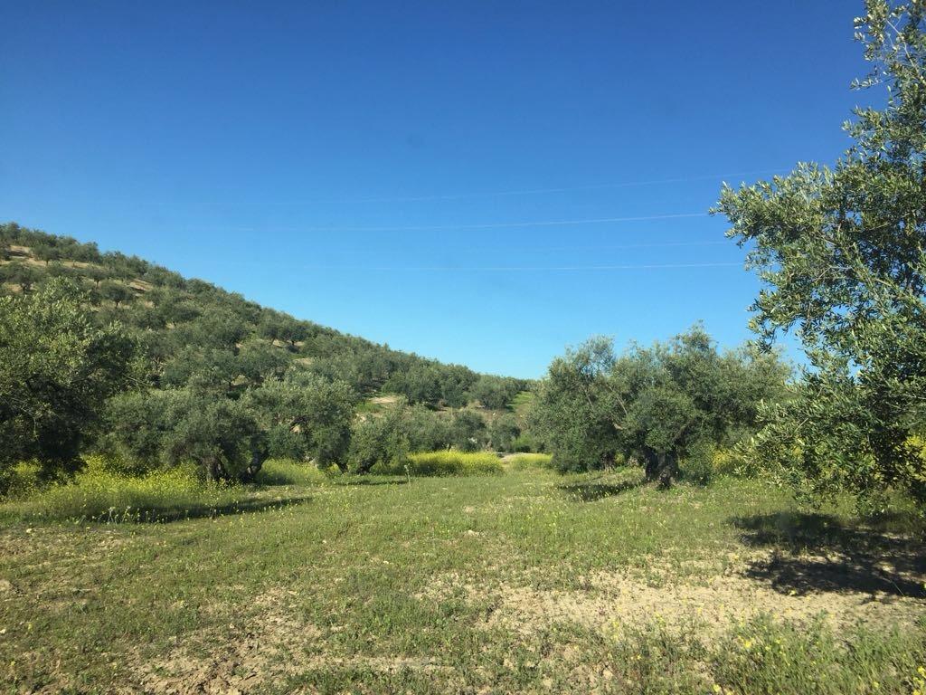 Ayudas Agroambientales a Sistemas Sostenibles del Olivar en Andalucía