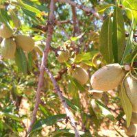 Soluciones frente a la Avispilla del Almendro para productores de almendra ecológica y apicultores
