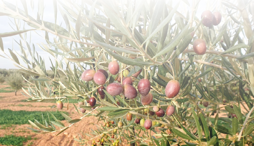 El olivar ecológico como estrategia de mejora competitiva para la olivicultura tradicional