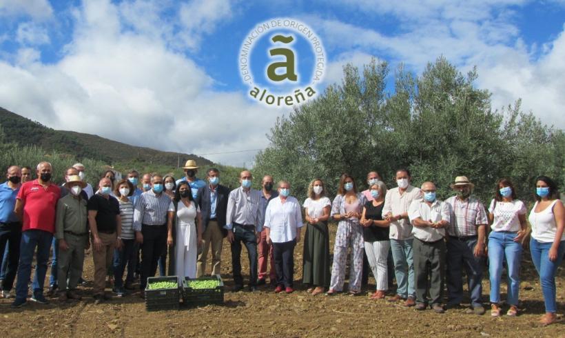 Comienza la campaña 2021/2022 de la DOP Aceituna Aloreña de Málaga